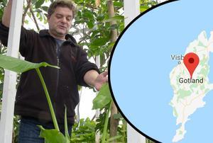 Björn Oliviusson ska provodla för Gotlands framtida tropiska odlingar i sitt växthus vid Berga.