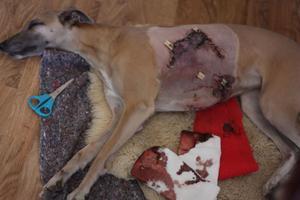 Det stora bettet efter pitbull terriern fick sys med många stygn. Såret läggs om minst en gång om dagen.