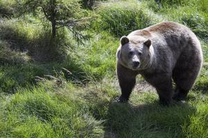 I Gävleborg finns 508 björnar vid senaste inventering då man räknade in 2 900 björnar i Sverige.