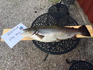 I Ryggensjön i Falu kommun den 8 juni fiskade Sven Kock den här fina öringen på kastspö. Vikten var 6 800 gram och den var 84 cm lång.  Foto: Privat