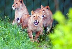 En ny generation lejon har intagit Frösö djurpark. De förra lejonen var 19 år gamla och fick sluta sina dagar i höstas. Foto: Håkan Luthman
