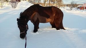 Tog dessa bilder i dag när allt snöande hade lugnat ner sig. Min islandshäst Draumur undrade om jag verkligen menade allvar! Härligt med mycket snö, bra styrketräning att bli longerad i denna djupa snö. Foto: Sara Bergman, Heby.