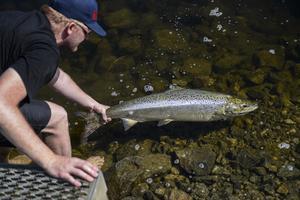 Arkivbild från laxfiske i Bergeforsen.