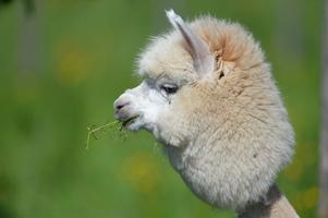 Alpackan är ett domesticerat kameldjur från Sydamerika. Foto: Kerstin Joensson/TT