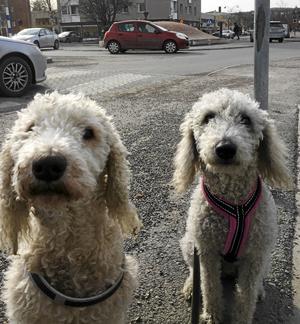 Veckans instagram: HUNDAR PÅ STAN. #skönsberg #stadenistaden #doglife Bild: Björn Brånfelt: