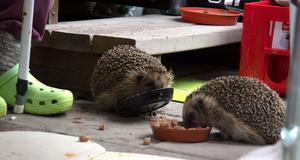 – Igelkottarna kommer in och äter, och så lullar de runt lite. En del går in i häcken och lägger sig och vilar, och en del kan ligga här under min stol, en del kan ligga under trappen. Och sedan lullar de i väg igen, berättar Majvor.