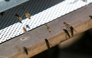 Entrén till bisamhället kallas fluster, där finns speciella bin som vaktar så inga obehöriga gäster kommer in.