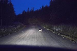 – 30 km/h är precis björnsafarifart, skojar guiden Roger Bäck.    Det är större chans att se björn om man kör sakta. Ingen björn sågs till under denna björnsafari, men däremot en skärrad hare.