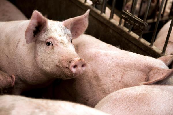 Horace Engdahl har roat oss med associationen om kulturmannen som (mans)gris. Foto: Lars Pehrson / SvD