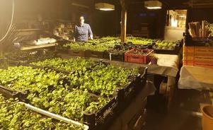 Foto: PrivatPå Ekebo i Barkarö odlas Norells egna sortiment av ekologiska örter. Timjan, gräslök, koriander, thaibasilika och mynta, med mera. I bakgrunden står  Helena Strand, ansvarig för Ekebo handelträdgård.