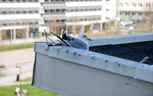 En mås har flyttat in på taket utanför kontorshotellet Great space i Sundsvall för andra året i rad.