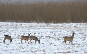 Rådjuren kan behöva stödutfodring om det blir en ogynnsam vinter. Det räcker med att göra något litet än att inte göra något alls, skriver LT:s skog- och jaktkrönikör Jonas Hamner. Foto: Fredrik Sandberg/SCANPIX