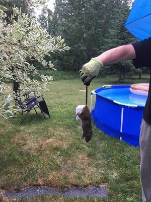 Här är en av de fångade råttorna i Johannedal.