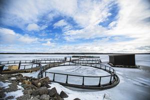 På vintern ligger odlingen intill land och fiskarna får inte lika mycket foder som på sommaren. Därmed varierar också fosforutsläppen från odlingen.