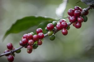Just nu pågår flera initiativ i vår närhet för att stötta lokala butiker, caféer och restauranger. Låt oss utöka det till att även inkludera de människor som befinner sig lite längre bort, till dem som odlar de råvaror vi oftast inte kan producera i Sverige. Bilden visar kaffebär på kvist från en Fairtrade-odling. Foto: Thom Alva