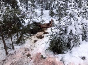 Efter att under en natt  ha följt  en skogsbilväg söderut i 1,5 mil tog Tansenflocken en älgkalv 150 meter från vägen.