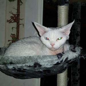 117) Vill anmäla min katt Gulli till lussekatt tävlingen. Hon är en Devon Rex på 5år. Har bott hos mig i 2år. Eftersom hon har Odd eye ser hon lite kul ut när man fotar med blixt! Foto: Anders Hedblom