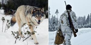 Varken vargen eller jägaren på bilden har något med innehållet i texten att göra. Bild: TT