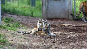 I det lilla utomhushägnet får tigerungarna frisk luft.