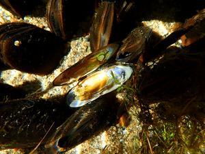 En död flodpärlmussla där det vit pärlemor glänser.
