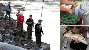 Laxen är en populär fisk för sportfiskarna. Men har påverkats negativt av mänskligt orsakade vandringshinder som dammar. Foto: Arkivbilder