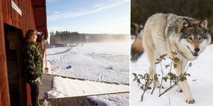 Anneli Karlsson och grannen Lars Svensson har sett vargflocken i Håkanbo flera gånger. Från en utkiksplats i ladan ser Anneli ut över hela åkern.