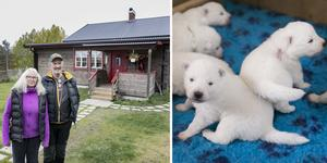Lotta Eriksson och Lars Jämtsved driver Samochas kennel i Bröckling. På gården har de 15 vuxna samojedhundar och nyligen fick de tillökning med sju valpar.
