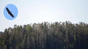 Örnarna kalasar på skarvägg, fågelungar och vuxna skarvar och länsstyrelsen har räknat till 18 havsörnar ovanför öarna utanför Fagerstranden i Timrå. Bilden är ett montage.