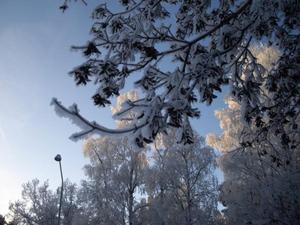 Frostiga grenar i ÖstersundFoto: Yvonne Bjors