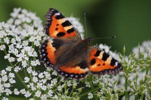Denna vackra Nässelfjäril stannade till på en mellanlandning i trädgården en vacker dag i Juni.