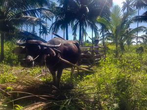 Carl-Johan Kihls vattenbuffel. På bilden fraktar den kokosnötter. Foto: Privat