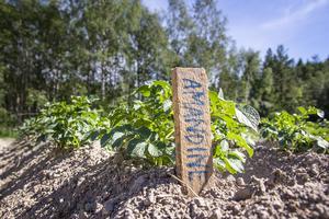 Potatis är än så länge det enda Dan och Josefine är helt självförsörjande på. Målet är att bli självförsörjande på åtminstone grönsaker.