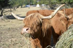 Kramfors kommun erbjöd djurägare att gratis hämta grönfoder på åtta hektar kommunal mark. Inte en enda utnyttjade möjligheten. Foto: Maja Suslin / TT /