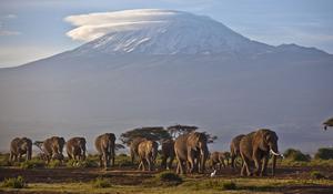 Till och med Kilimanjaro har spelat en liten roll i bockens historia. Bild: AP Photo/Ben Curtis