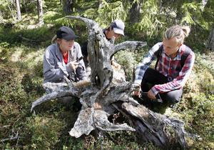 – Lämningar av det här slaget är viktiga för den biologiska mångfalden i skogen, konstaterar inventerarna Monika Norberg, Maria Danvind och Ingemar Södergren-