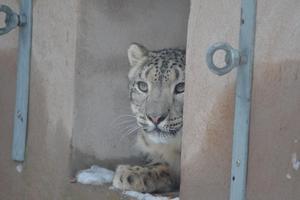 Snöleoparden Bhavani. Foto: Orsa Rovdjurspark