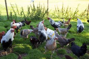 Hönsen äter det mesta som kraftfoder, kross, snäckskal och matrester.