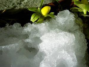 Våren kom 9 mars till Älgstråket i Östersund när den här vintergäcken dök upp ur jorden. Det var betydligt senare än i fjol då vårblomman dök upp redan 12 februari.Det skriver Bengt Brygge som skickat oss bilden.