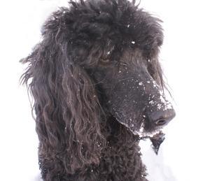 Storpudeln Mystique trivs i snön på sjön Tämnaren