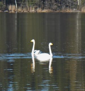 Inte från svansjön men väl Virsbosjön en morgon