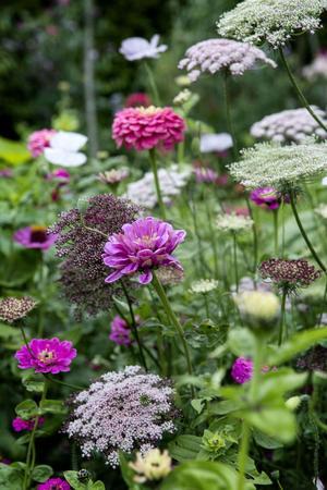 Zinnia och blomstermorot, i bakgrunden vallmo, samsas fint i Lindas blomsterhav.