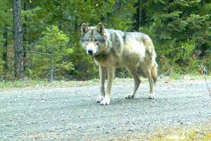 En amerikansk varg som fångades på bild förra året.