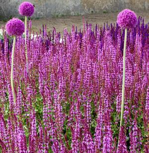 Allium med stäppsalvia.