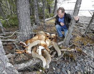 – En makaber syn, säger Gunnar Berglund, om de sju döda rävar som någon lagt vid en strand i Arvesund.