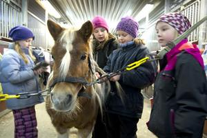 Den här ponnyn heter Viking och det var många som ville hjälpa honom att fläta manen.