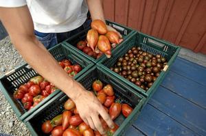 ekologiska tomater. Kan bli krångligare att sälja om EU-kommissionen får som den vill.Arkivfoto: Lars Pehrson /TT