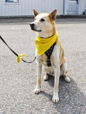 Den gula scarfen och rosetten på kopplet visar att Vidar behöver mer utrymme än andra hundar.