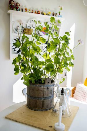 Växter är ett stort intresse, inte minst i jobbet so florist på Blomsterservice. En storvuxen Mårbacka sätter karaktär till köket.