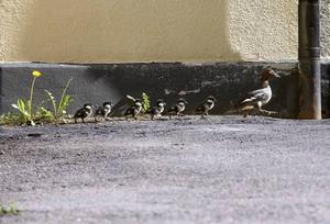 Mamman kunde i går efter fyra på eftermiddagen fortsätta färden mot Gavleån med sina ungar.