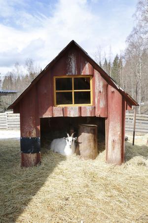 På gården finns många hagar. Bockrana har ett eget litet hus i sin, där de kan lägga sig och vila.